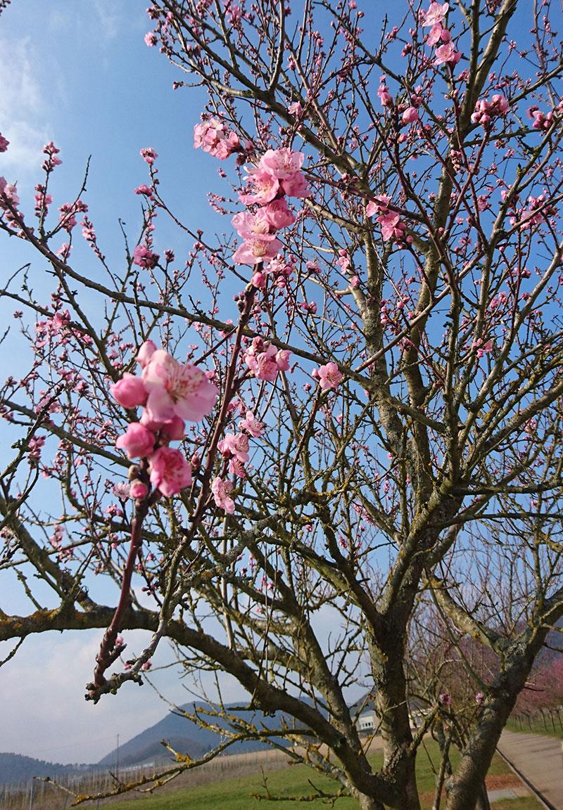 Mandelblütenzauber