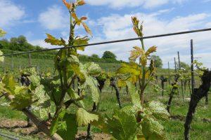 Zukunftfähiger Weinbau